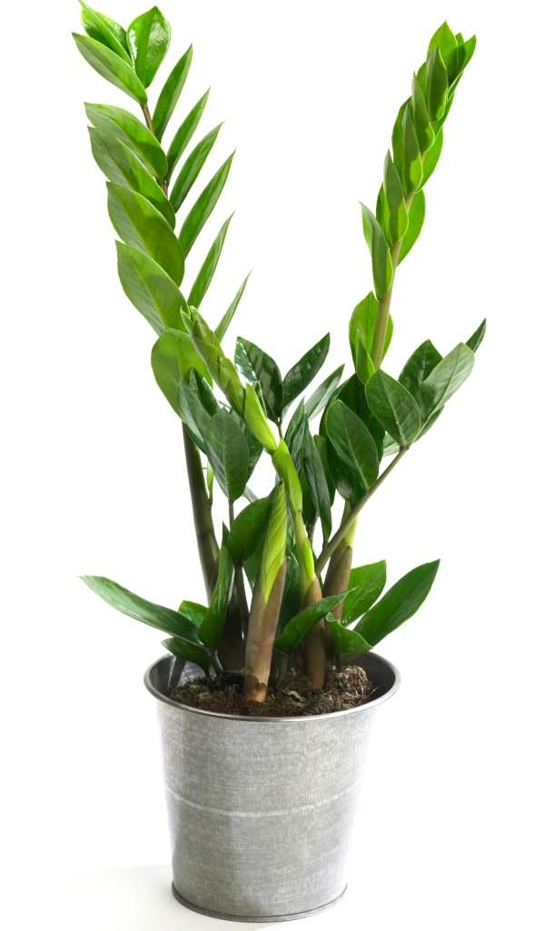 Zamioculcas zamiifolia plant in a tin pot.