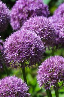 Allium flowers, purple pompoms that are perfectly spherical.