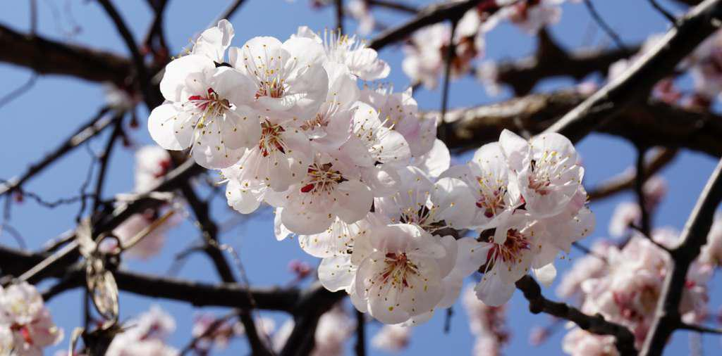 A flowering branch of apricot with white blooms.