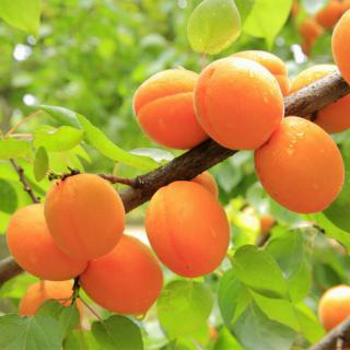 The branch of an apricot tree loaded with ripe orange fruit.