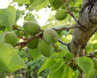 Immature green apricots on branch.