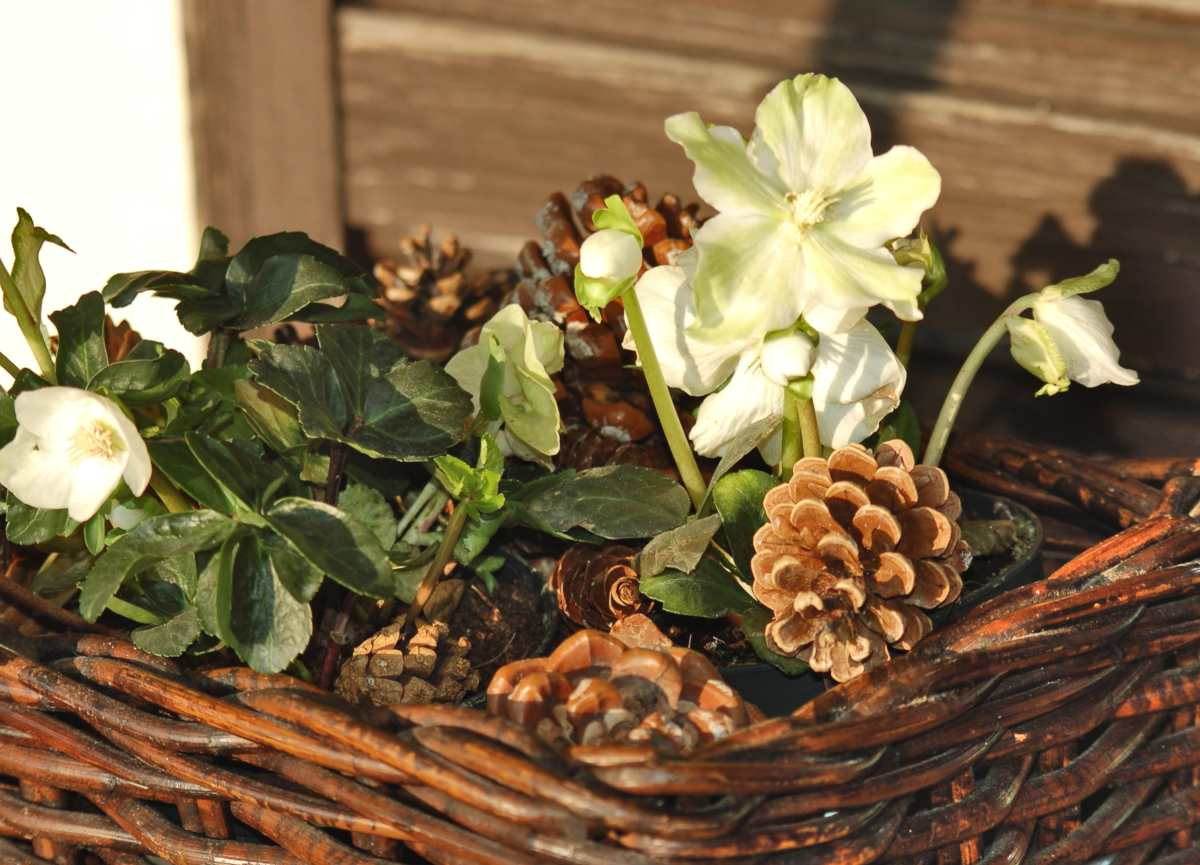 Hellebore in a wicker basket to beautifully decorate a winter balcony
