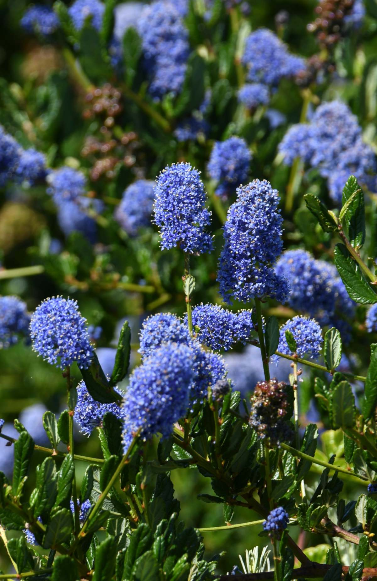 Blue flowers of the soap bush shrub