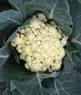 White head of cauliflower wrapped in deep blue-green caulilower leaves.