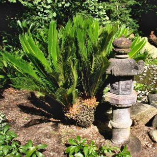 Japanese garden with outdoor cycas