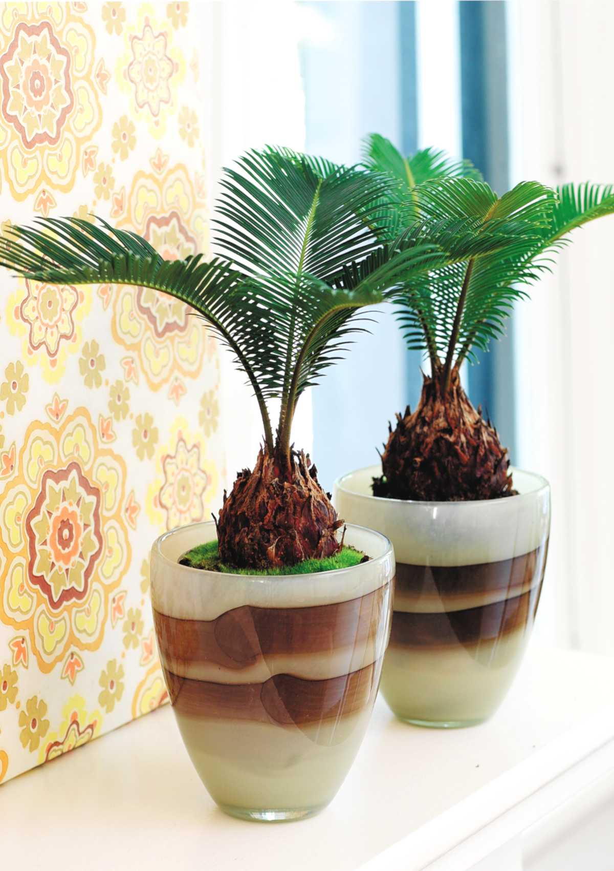 Two potted cycas, still small, on a windowsill.