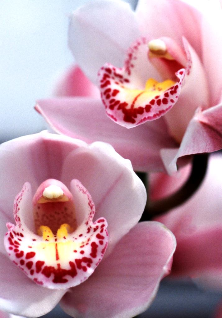 Cymbidium Easy Advice On Caring For This Superb And Colorful Orchid