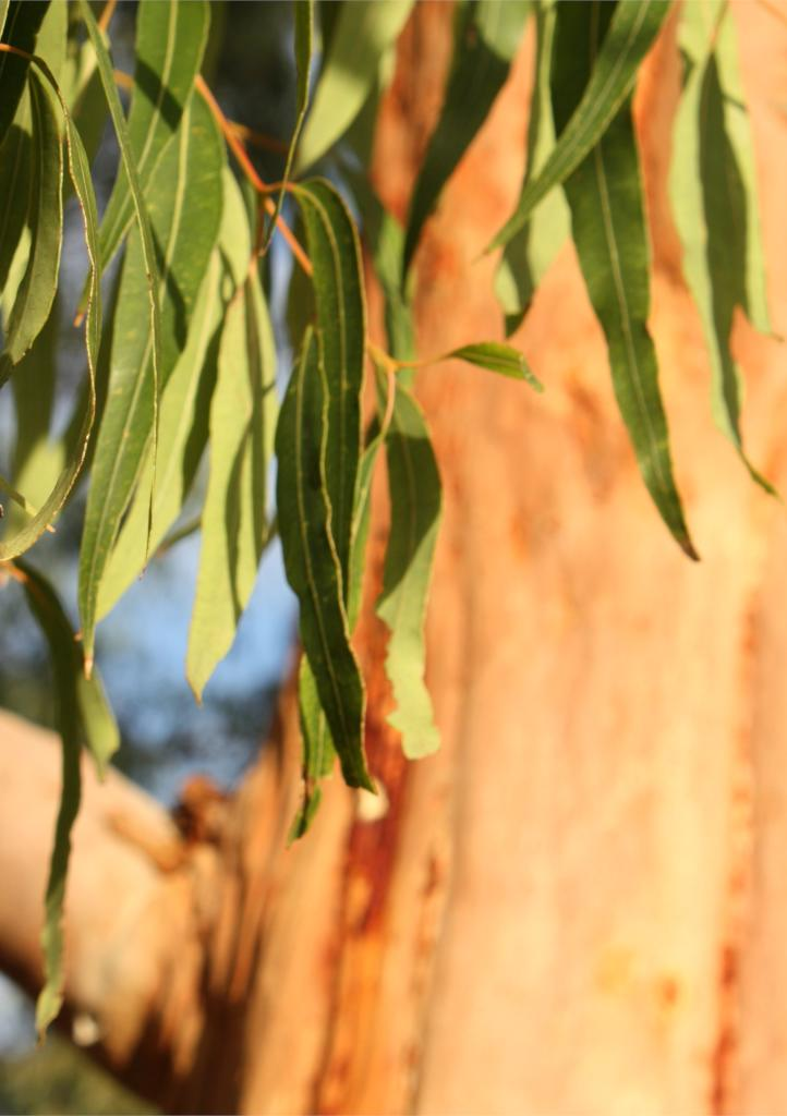 A few long eucalyptus leaves hanging against the ocre tan backdrop of a eucalyptus trunk with a bit of blue sky.