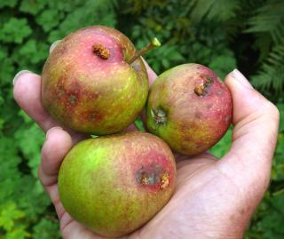 Three apples infected with codling moth fruit worms