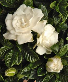 Gardenia flowers blooming