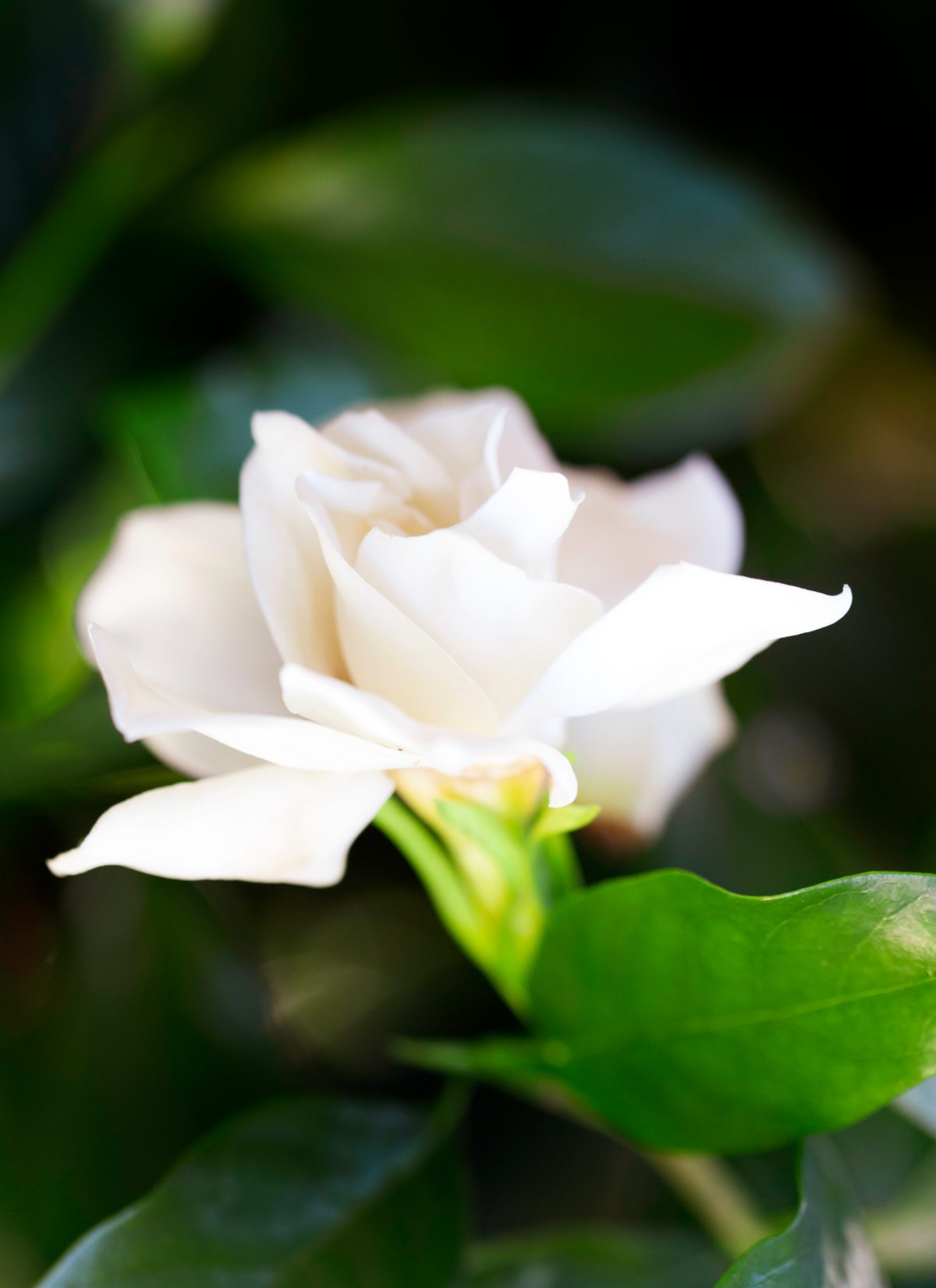 Single hazy gardenia flower
