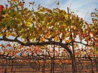 A cordon-type pruned grapevine in autumn.
