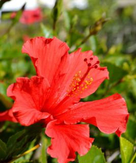 A red frilly-petaled hibiscus flower reaching for the sun.