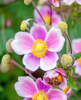 Pink japanese anemones with white fringes