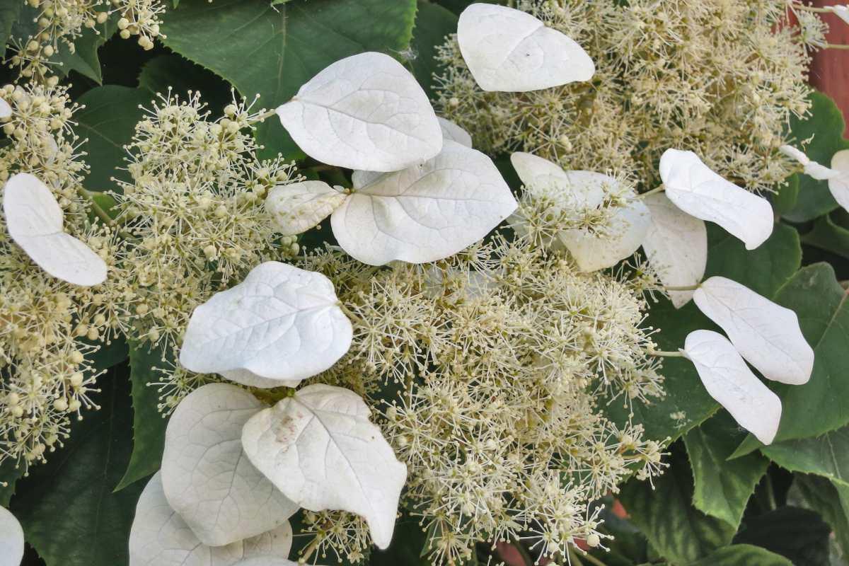 Japanese hydrangea vine flowers