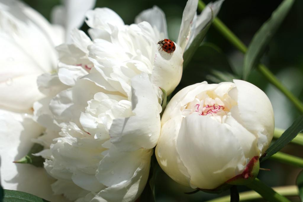 Two peony flowers, white with a dash of red, visited by a ladybug