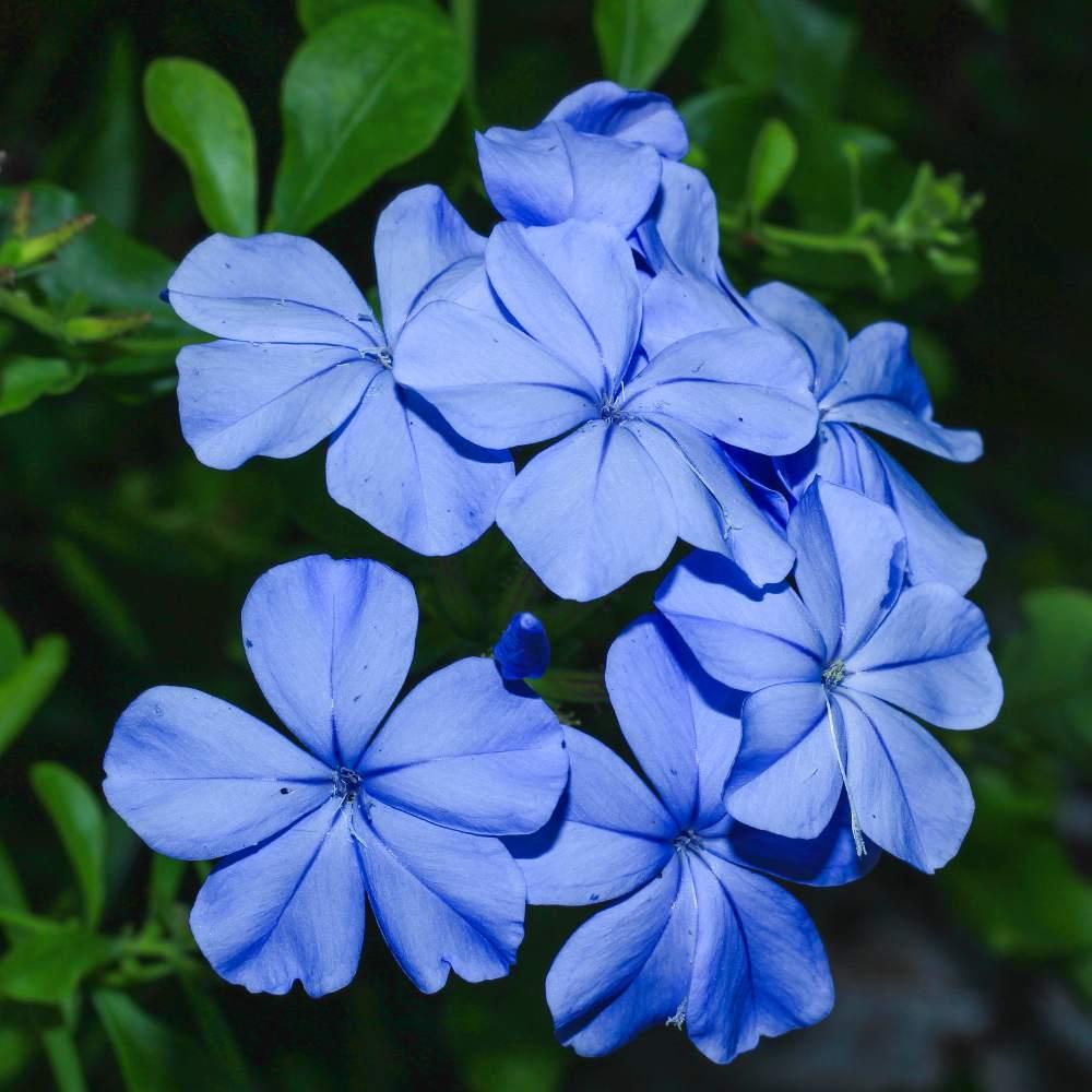 Jasmim azul