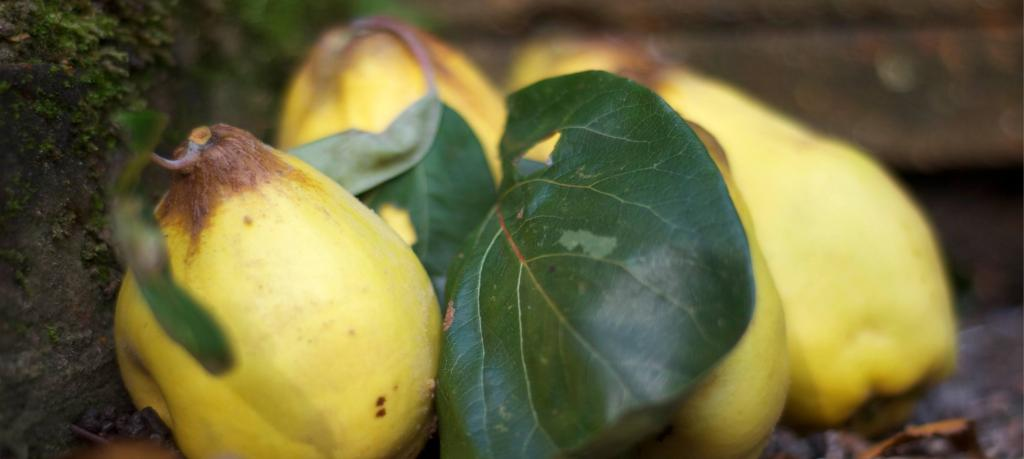 Health benefits of quince recently harvested