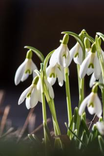 A cluster of snowdrops newly opened under a cold sun.