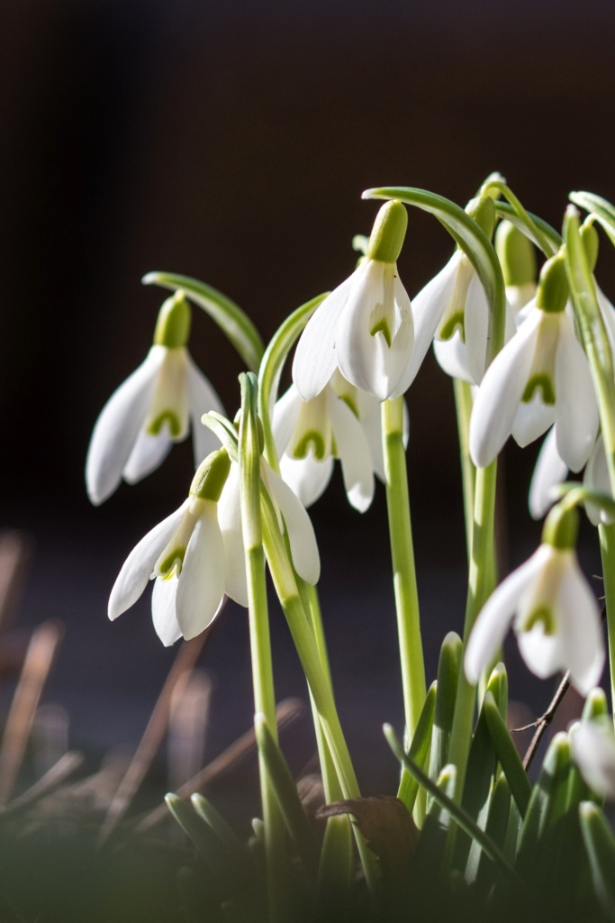 Snowdrop Planting Advice On Caring For This Spring Groundcover