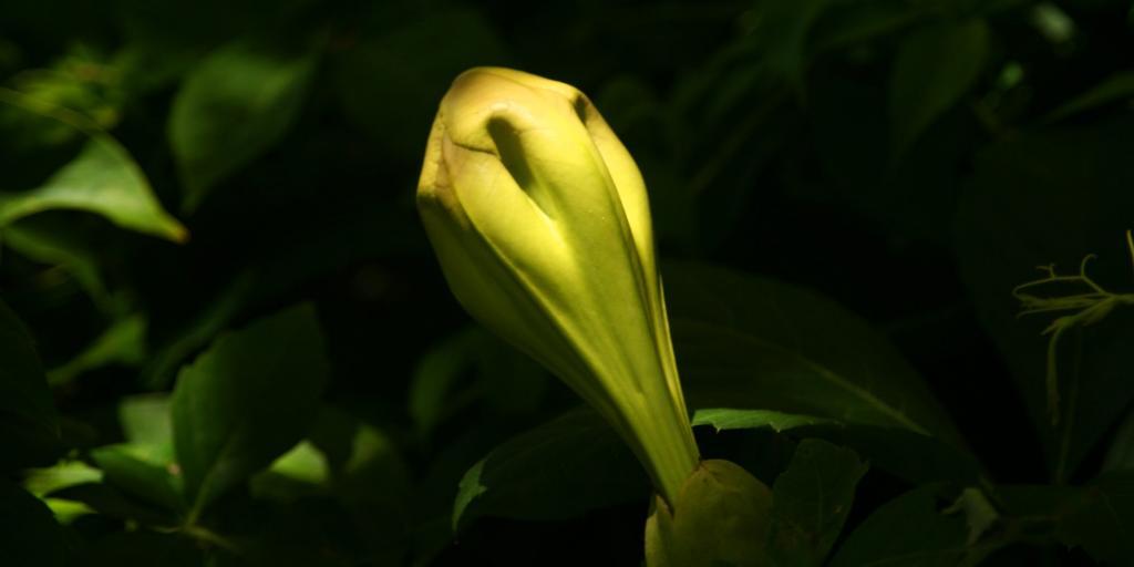 Solandra vine flower bud forming.