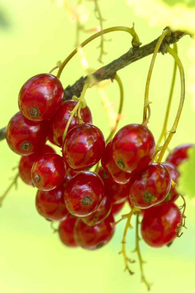 Red Berries In Summer Red Currant Bushes Raspberries Blackcurrant