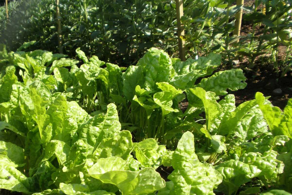 vegetable patch in fall with spinach growing in the foreground