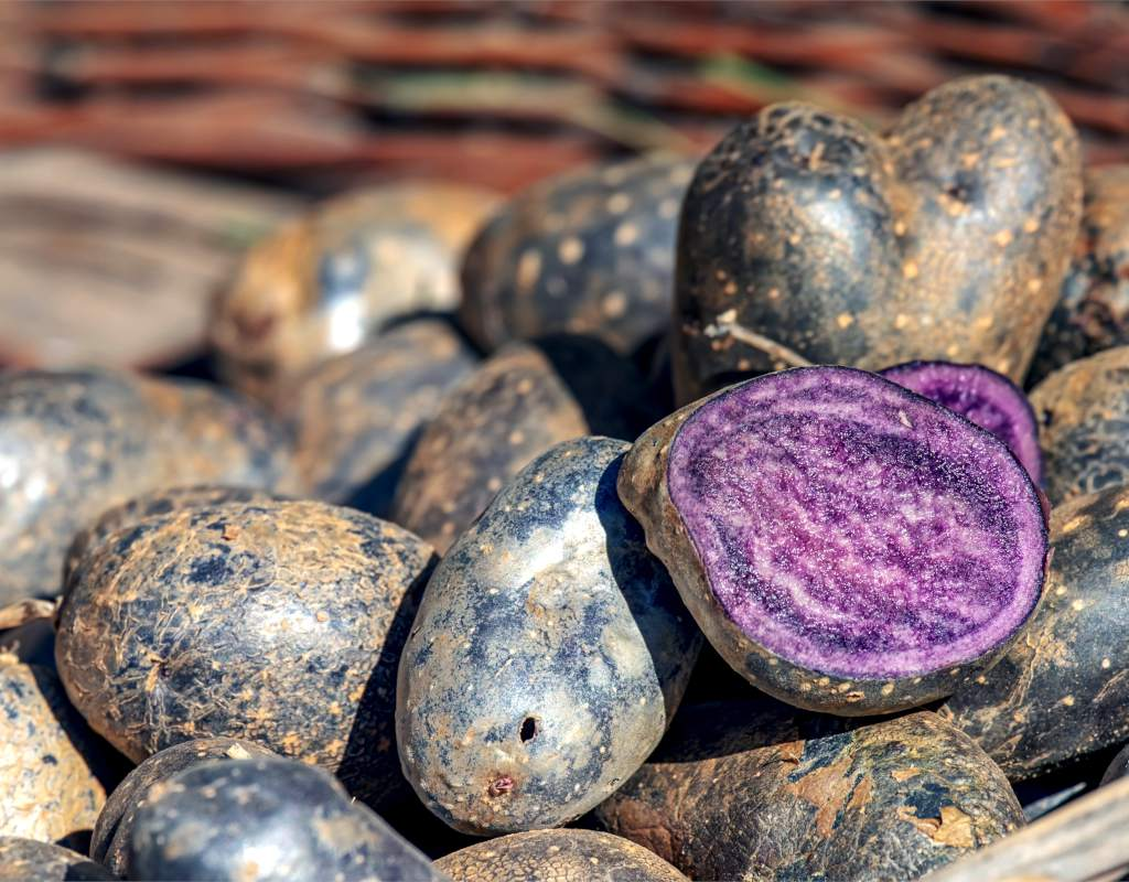 A sliced vitelotte black potato on a fresh harvest shows its purple insides.