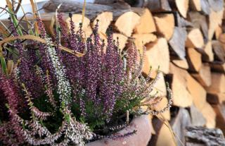 Winter balcony with logs and blooming erica heather