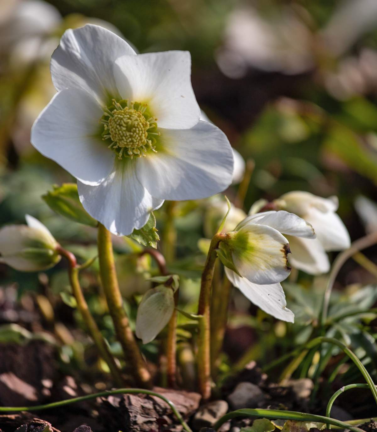 Winter flower for planting, hellebore