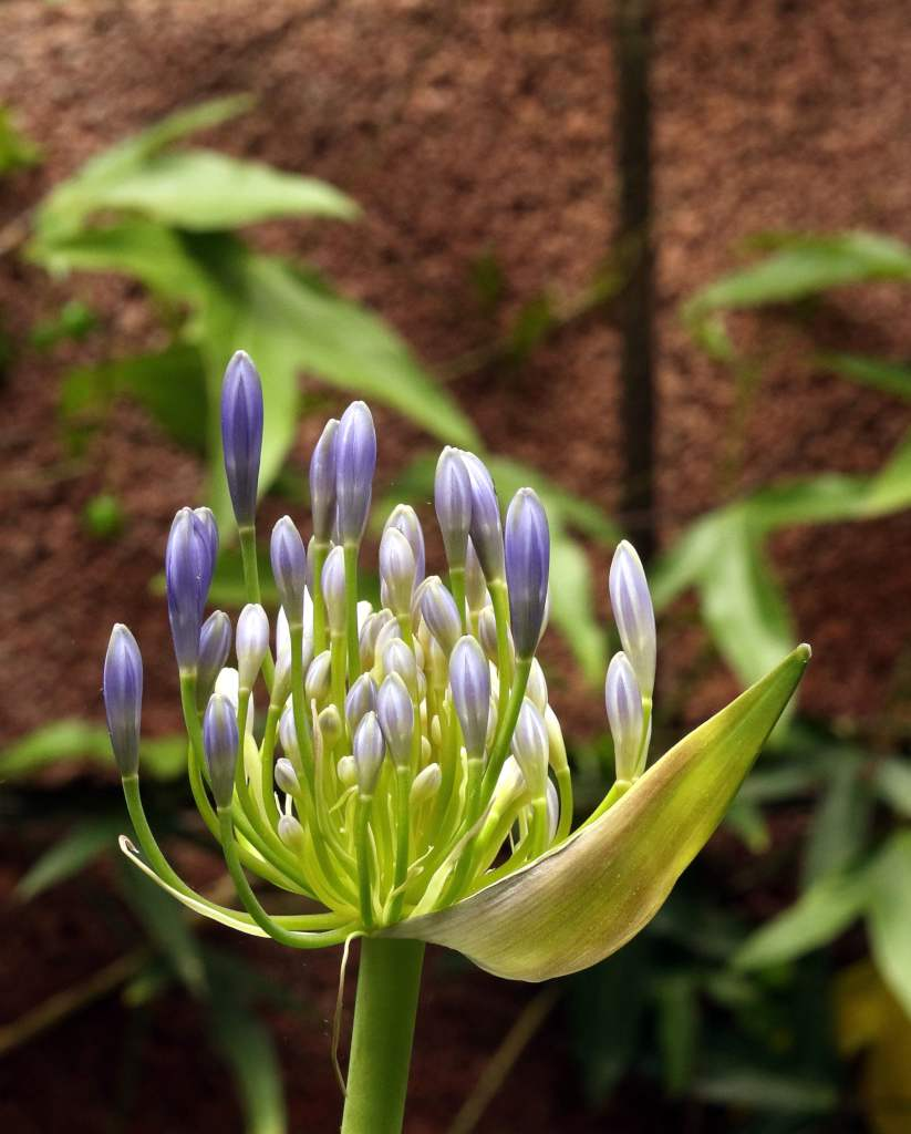 Agapanthus lily of the Nile freshly open against a backdrop of bricks and ivy.