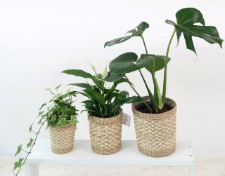 Air-purifying plants in wicker baskets