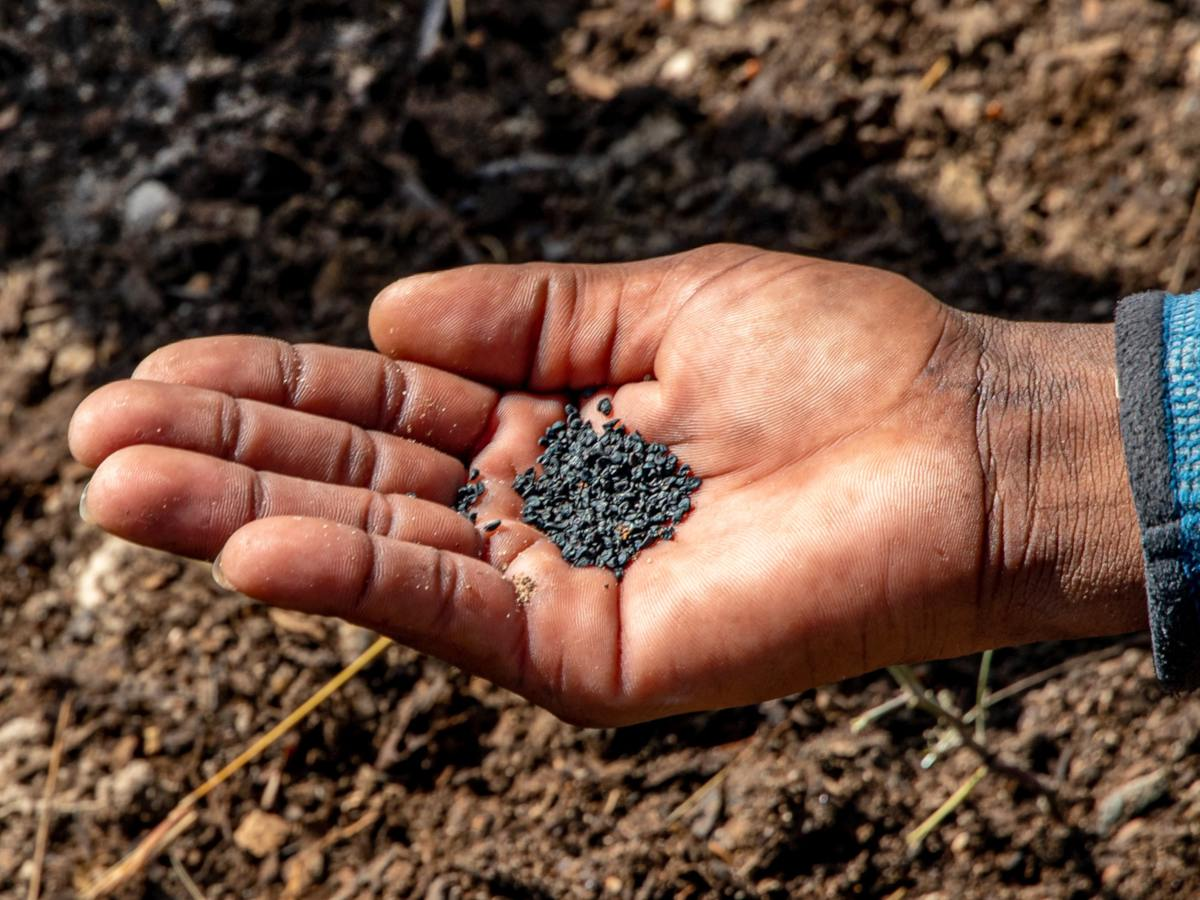 Broadcast sowing, seeds in hand with dark complexion.