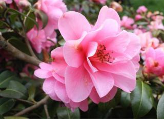 A camellia sasanqua flower