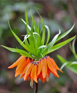 Wonderful orange-blooming crown imperial