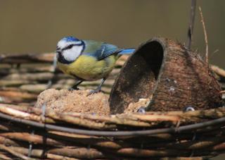 Blue tit in feeder tray