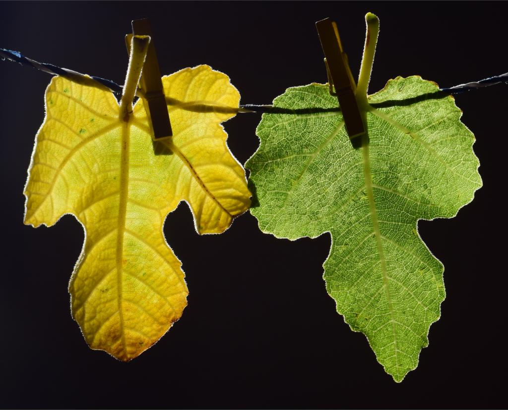 Fig tree leaves on a clothesline with clothes pins, the left one is yellowish and the right one greenish in hue.