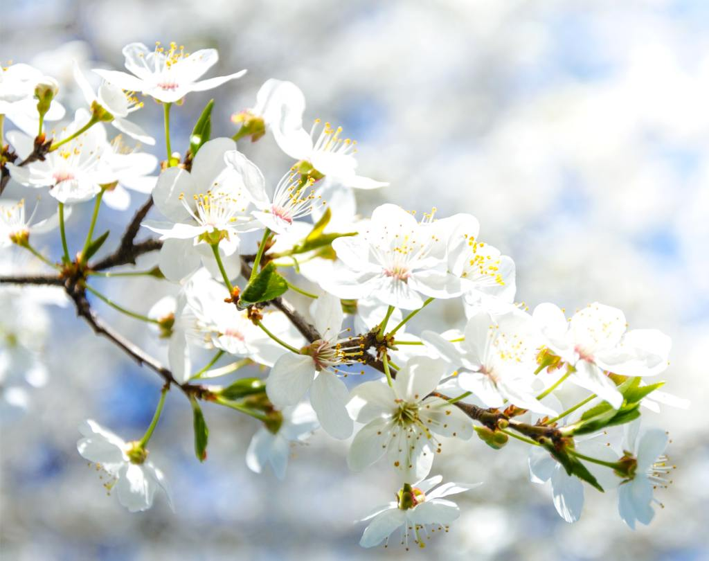 Flower apple tree branch with white blooms.