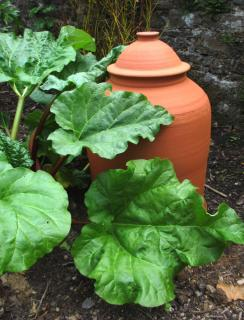 Rhubarb stems and a clay forcing pot right next to it
