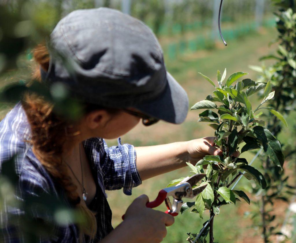 Fruit-inducing pruning