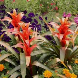 Caring for guzmania in the garden