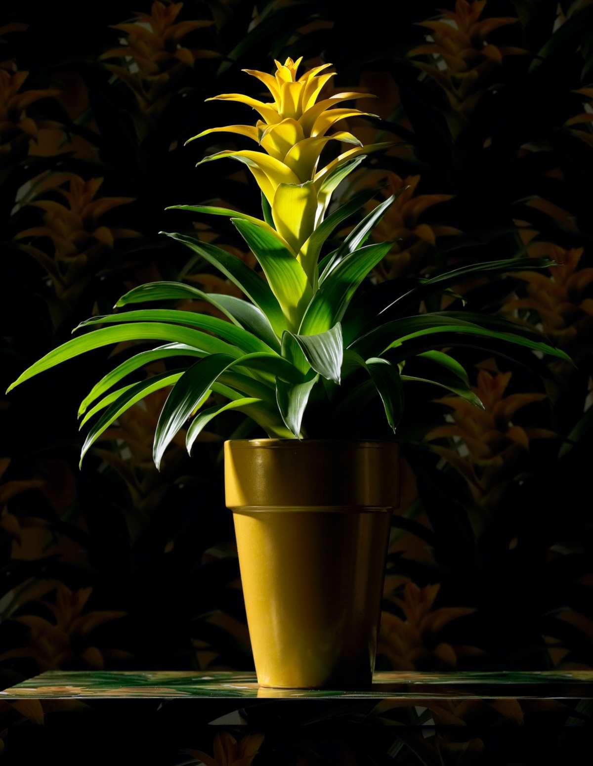 Yellow guzmania