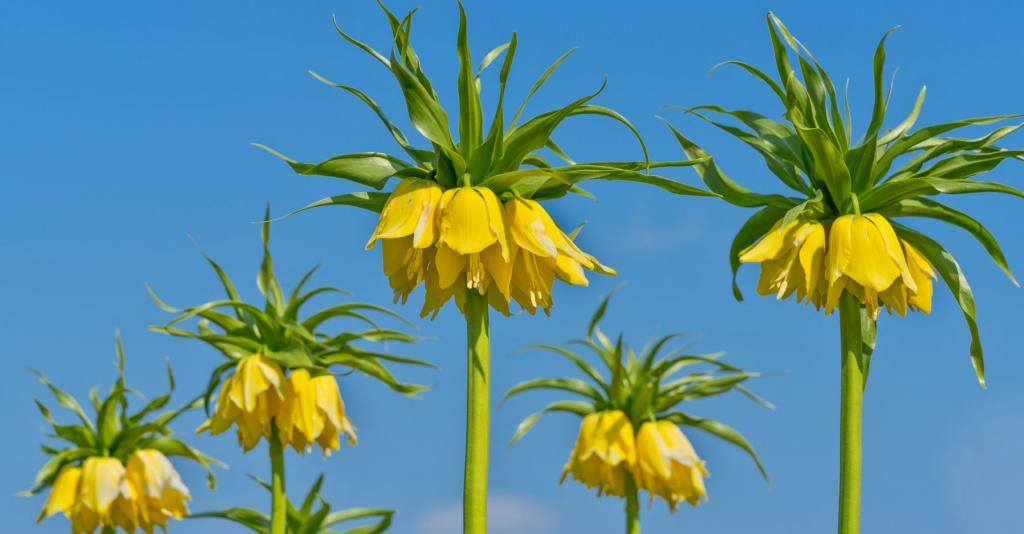 Two rows of yellow imperial crown flowers seen from below.