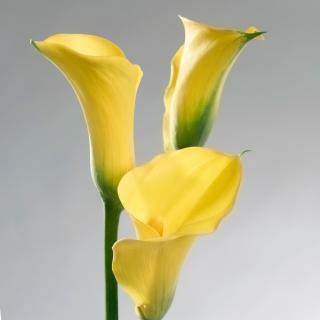 Yellow zantedeschia blooming in winter in the house