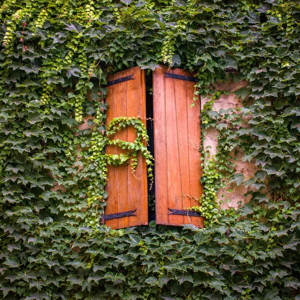 Ivy, an easy climbing plant with traces of eternity