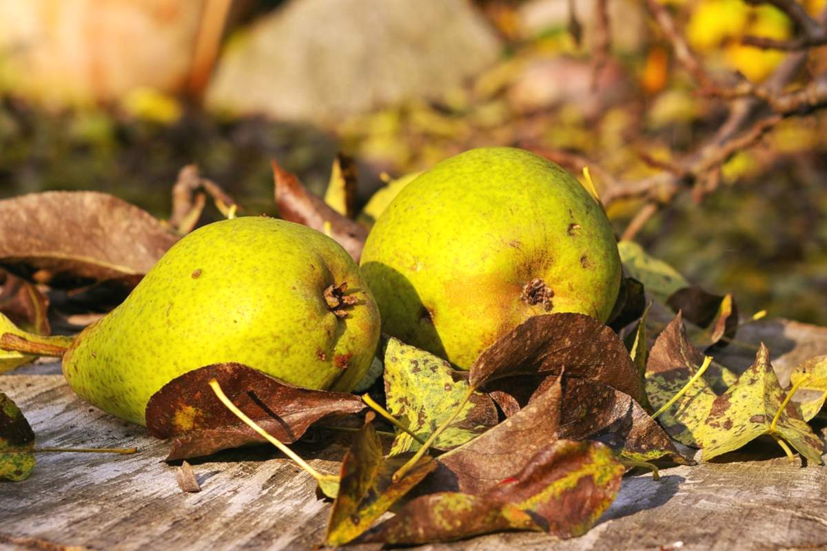 Two pears with leaves on a stump