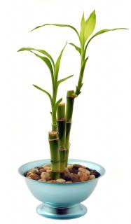 Lucky bamboo in a pot filled with gravel