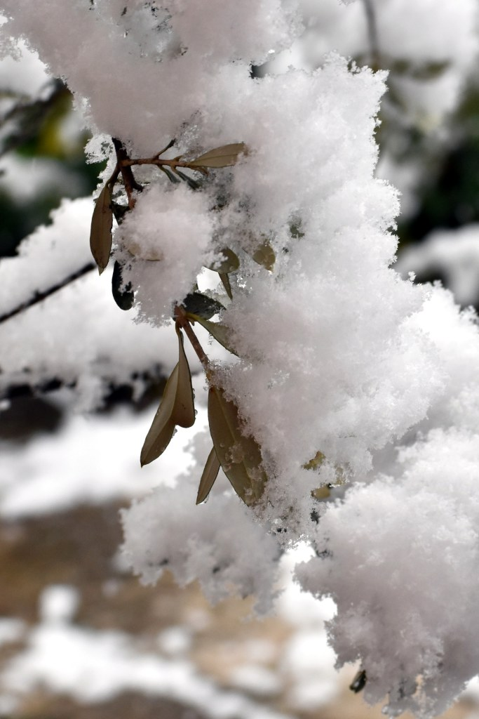 Close-up of an olive tree branch covered in heavy snow.