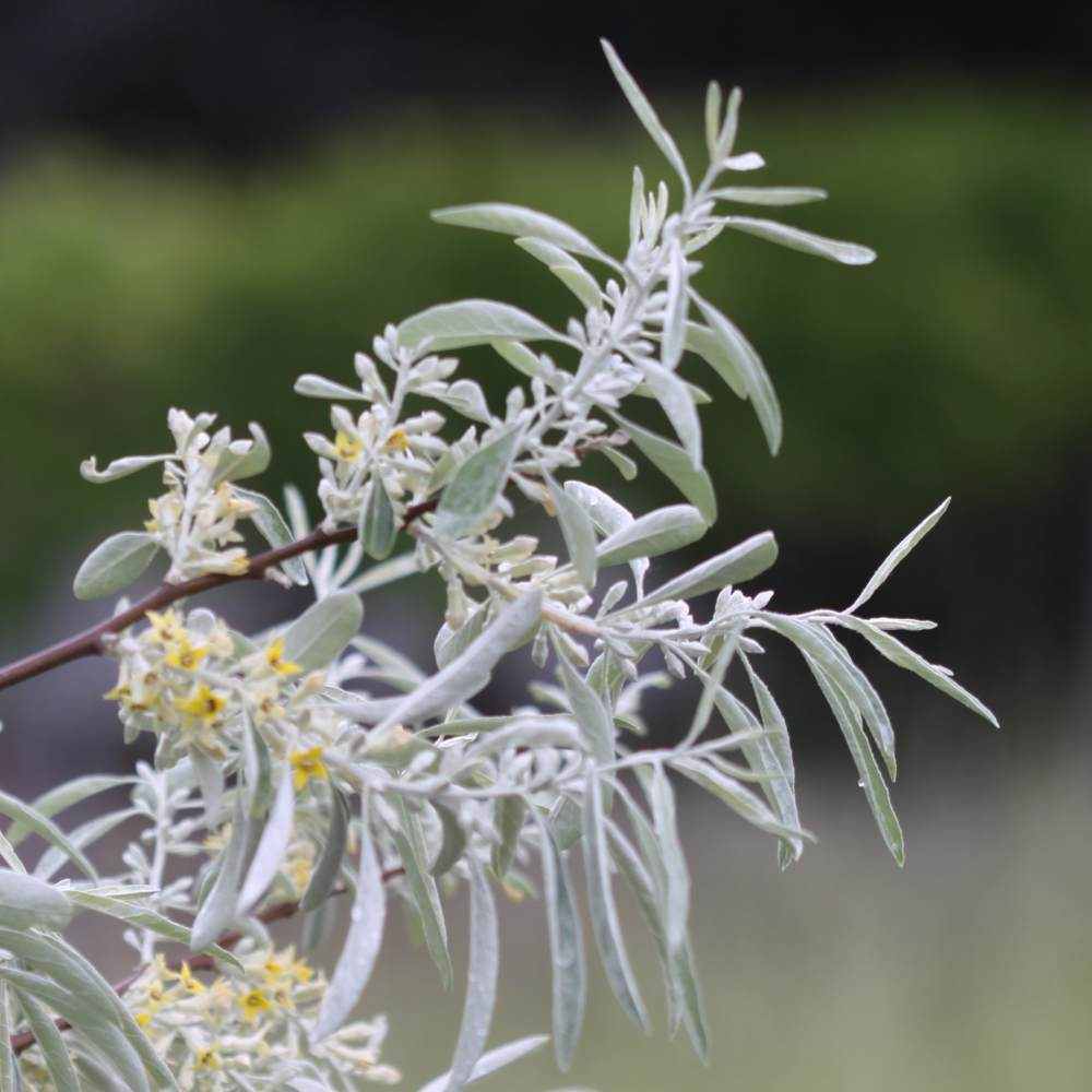 Beautiful Russian olive branch in full bloom with blurred background.