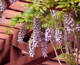 Wooden pergola with blooming wisteria